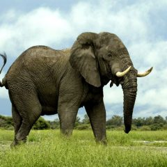 Elephant Monster